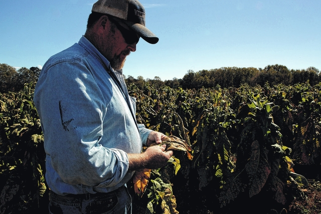 Tobacco contract cuts hurt surry county farmers the elkin tribune phillip cave examines a frostbitten leaf of tobacco on his elkin farm in october caves contracts with rj reynolds tobacco company and us tobacco sciox Image collections